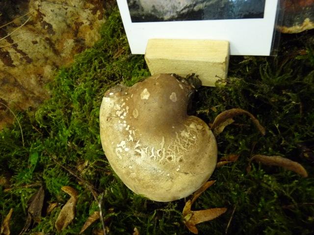Polypore du bouleau - Piptoporus betulinus