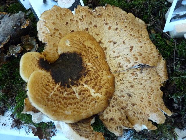 Polypore écailleux - Polyporus squamosus