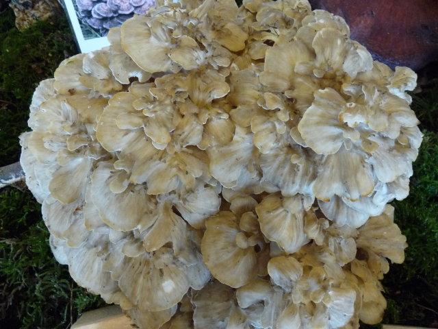 Polypore en touffe - Polyporus umbellatus
