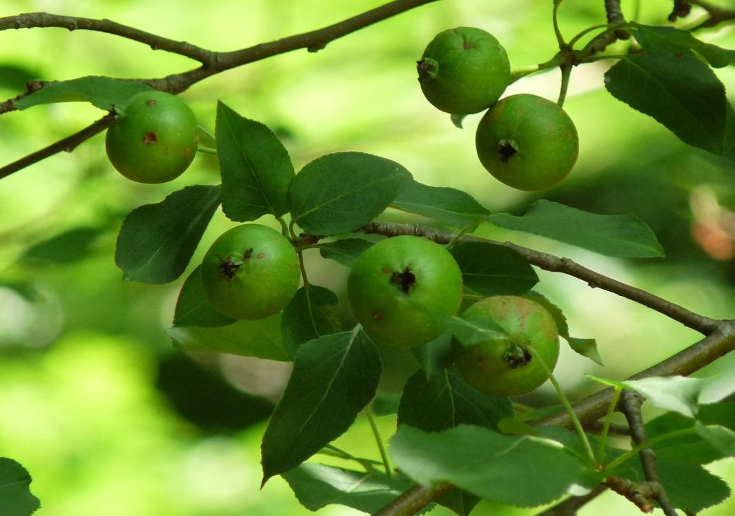 Malus sylvestris (fruits)