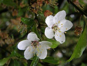 Malus sylvestris (fleurs)