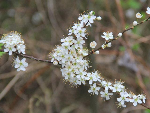 Prunelier commun - Prunus spinosa